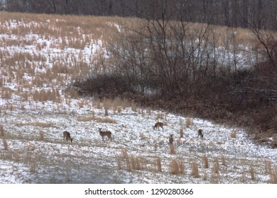 A group of five whitetail deer (Odocoileus virginianus) in a field during a snow storm in Appalachia