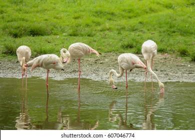 Group of Flamingo birds