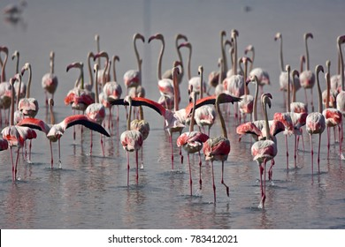 Group of flamingos by the lake in United Arab Emirates