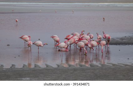 Group of flamingos feeding in a lake in Bolivia