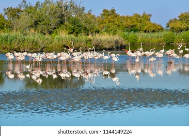 Group of flamingos (Phoenicopterus ruber) in water with big reflection, in the Camargue is a natural region located south of Arles, France, between the Mediterranean Sea and the two arms of the Rhône
