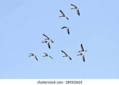 A group, flock of Greylag Geese, Anser anser, flies on the blue sky. Early morning in spring.