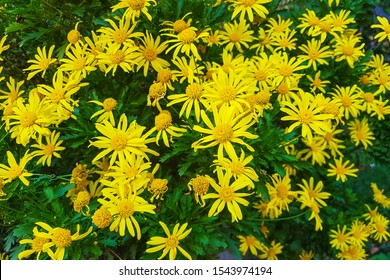 Group of flowers Mountain arnica,Yellow flowers Rome Italy.