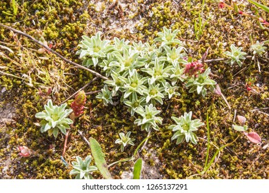 Group of flowers and plants of Evax pygmaea on sand dunes in Arousa Island, Galicia, Spain