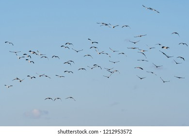 Group with flying birds, Common Cranes, by a blue sky