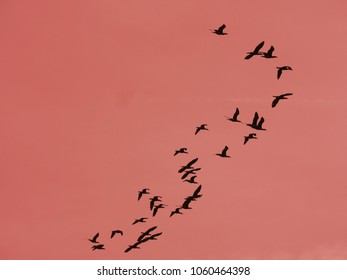 a group of flying cormorants against a red sky