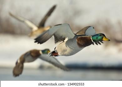 Group of flying Mallards