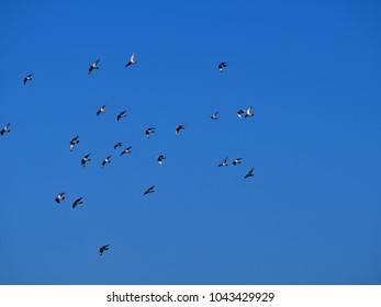 A group of flying pigeons in the dark blue sky, the outstretched wings shimmer silvery from below