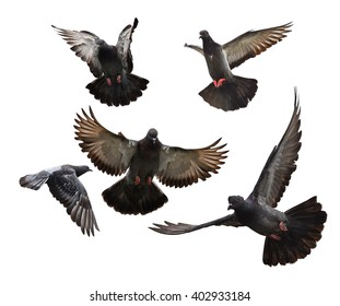 Group Flying pigeons isolated on white background