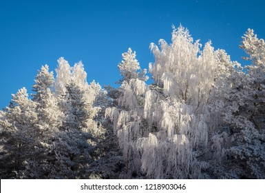 group of forest trees in white hoarfrost