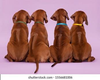 Group of four 4 rhodesian ridgeback puppies dogs sitting backwards showing ridge on violet background