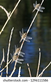 A group of four dragonflies resting on one stem.