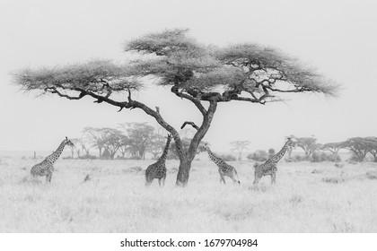 Group of four Giraffes Infrared