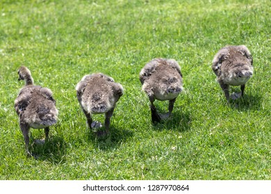 A group of four goslings devouring the grass