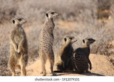 group of four meerkats standing on a hill enjoying the morning sun and watching out for enemies.