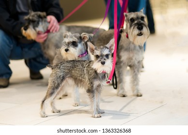group of four mini and standard schnauzers on leash