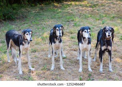 Group of four persian greyhounds standing together side by side