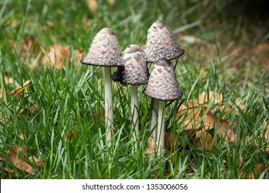 Group of four Shaggy Ink Caps mushrooms (Coprinus comatus) growing in garden in France in autumn. Stage of Autolysis (self-digestion).