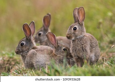 A group of four small brown wild rabbits huddle together in a farmers field in Auckland, New Zealand