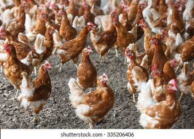 Group of free-range chicken freely grazing outside of organic farm. Organic farming, animal rights, back to nature concept.
