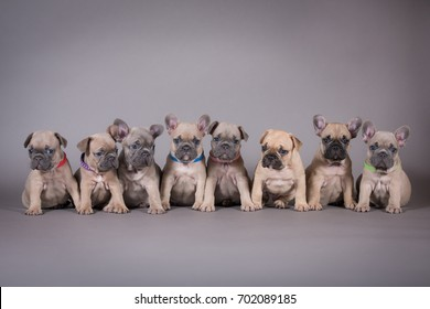 A group of French Bulldog pups on gray background. Eight puppies