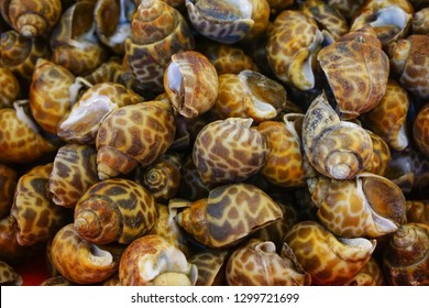 Group fresh areola babylon or spotted babylonia on ice at supermarket, delicious seafood for cooking meal or dinner or appetizer