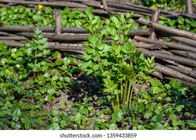 Group of fresh green leaves of Lovage, Levisticum officinale, in a garden in a sunny spring day