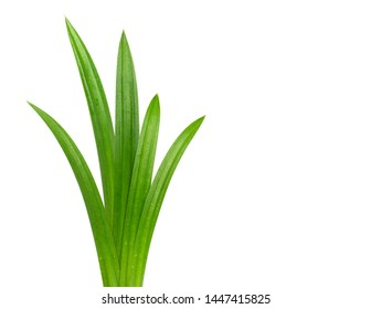 Group of Fresh green Pandan (screwpine) leaves with water drops isolated on white background, Clipping path.