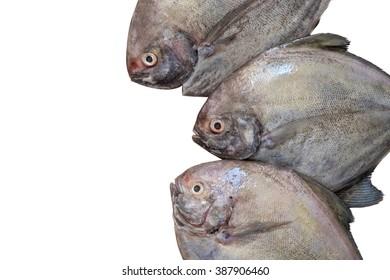 Group of Fresh sea fish isolated on white background