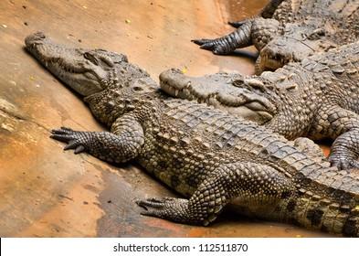 A group of fresh water crocodiles