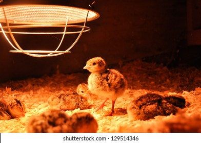 A group of freshly hatched turkey poults rests under a brooder lamp.  One poult is on its feet, looking for a midnight snack.  These are broad-breasted bronze poults, about 3 days old.