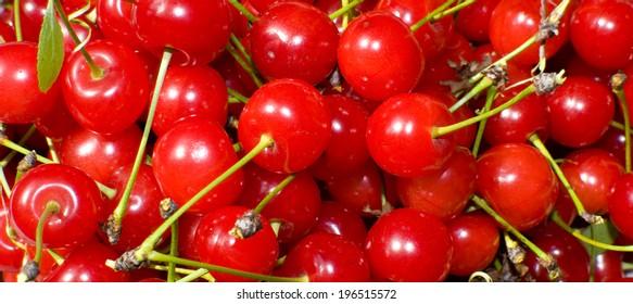 group of freshly picked cherries