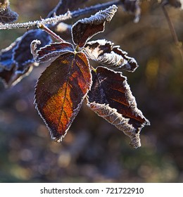 A group of frosty leaves in late autumn sunshine