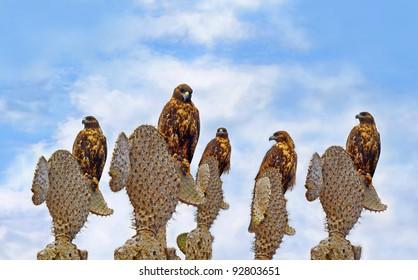 A group of Galapagos Hawks on cacti,  Santa Fe