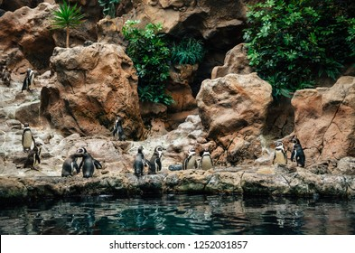 Group of Galapagos Penguin Spheniscus mendiculus stand on stones and play near water. Loro Park, Tenerife, Canary islands, Spain