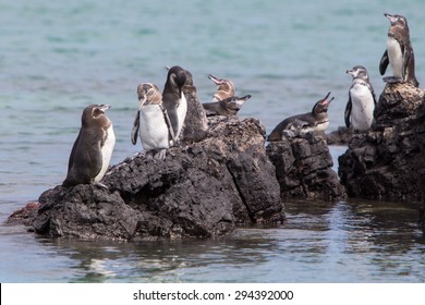 Group of Galapagos Penguin (Spheniscus mendiculus) standing on a rock and playing around on Isabela Island. Galapagos Islands. Ecuador 2015.