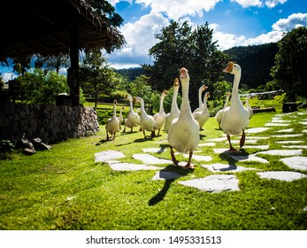 A group of geese walked on a grassy path with a rocky path. The sky was sunny and hot.