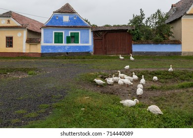 Group of geese wanders among old houses in the village – Rural view - Viscri Romania 21.08.2017