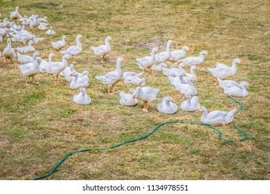 Group of Geese in a yard