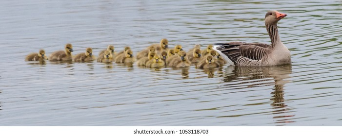 A group of Geese and young Goslings in the Nature reserver Oostvaardersplassen, in the Netherlands on a Spring afternoon.