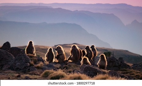 Group of Gelada Baboons watching sunset in Ethiopia