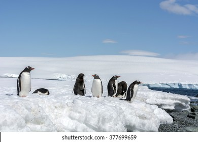 Group of Gentoo Penguin (Pygoscelis papua) - Greenwich Island in the South Shetland Islands - Antarctic
