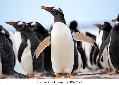 Group of Gentoo Penguins (Pygoscelis papua) Falkland Islands.