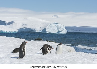 Group of Gentoo Penguins (Pygoscelis papua) - Greenwich Island in the South Shetland Islands - Antartica
