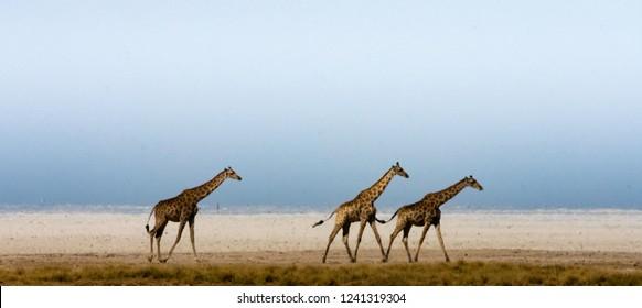 A group of giraffe cross through a heat haze at the edge of Etosha pan, Namibia.