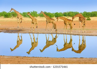 Group of giraffe near the water hole, mirror reflection in the still water, Etosha NP, Namibia, Africa. A lot of giraffe in the nature habitat, African wildlife. Big animals with blue sky.