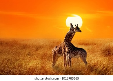 Group of giraffes against sunset in the Serengeti National Park.  Africa. Tanzania.