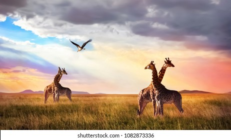 Group of giraffes and bird in the Serengeti National Park. Sunset cloudscape. African wildlife.