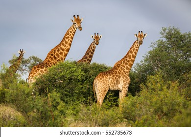 Group of giraffes in the bush, facing, golden afternoon light, Kruger National Park, South Africa