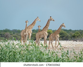 Group of giraffes in Etosha National Park, Namibia